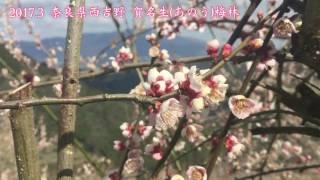 2017.3 奈良県西吉野 賀名生(あのう)梅林
