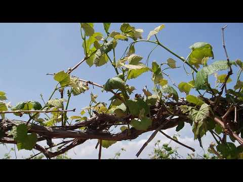 Top wire Cordon Training    Grape Video 12