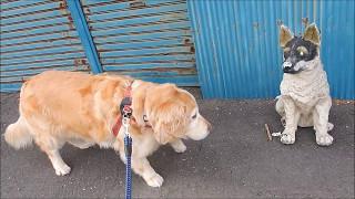 2017.04.29撮影 散歩の途中、置物の犬に遭遇したココ。ビビりながらも精...