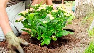 Jak sadzić hortensje
