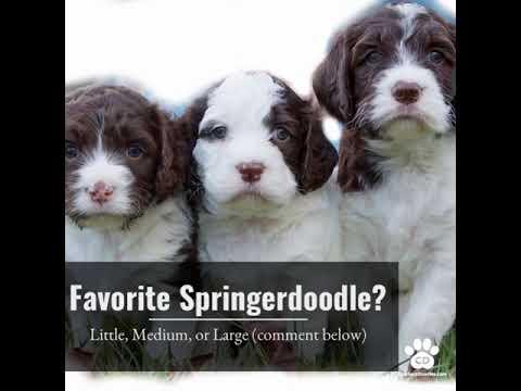 Springerdoodle Puppies For Sale   FunnyDog TV