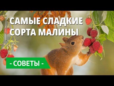 Видео с малиновой плантации Беккер. Обзор самых сладких сортов малины