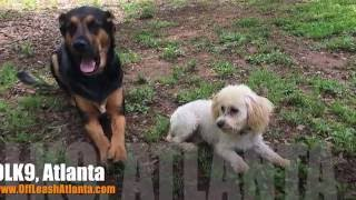 "10 Month Old Toy Poodle ""rosie"" Before/after Video 