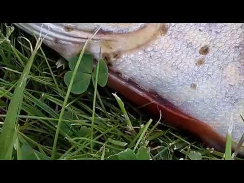Паразиты прудовой рыбы