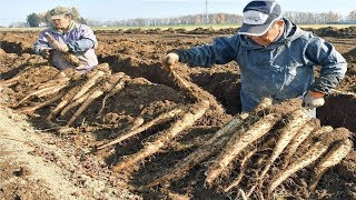 Japanese Yam Farming and Harvesting - Awesome Japan Agriculture Technology Farm