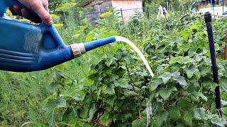 Закладывается огромное множество плодовых почек на смородине в октябре после этой подкормки!