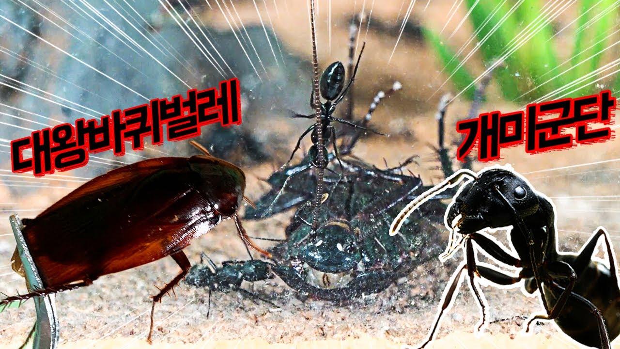 개미집에 대왕바퀴벌레가 침입한다면?