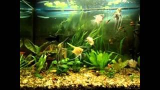 Аквариумные рыбки Меченосцы. Уход и размножение
