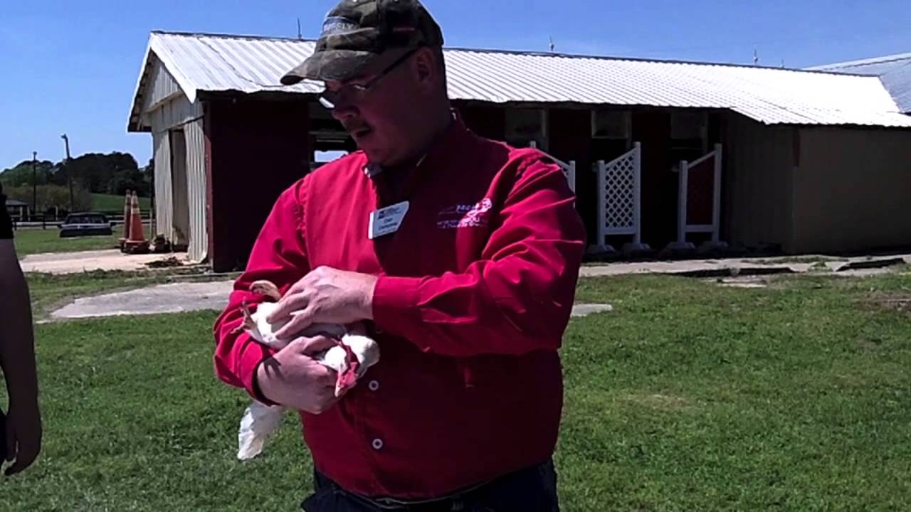 5 steps to poultry showmanship | 4-h in the panhandle.