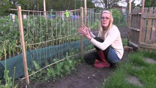 Katie's Allotment - May 2014 - Peas, Roses and Tomatoes