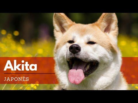 Akita - Todo Lo Que Debes Saber Sobre Esta Raza