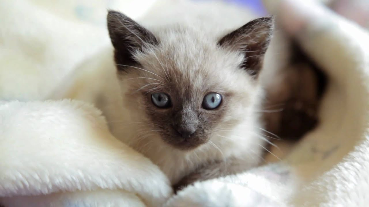Curious Siamese Kitten