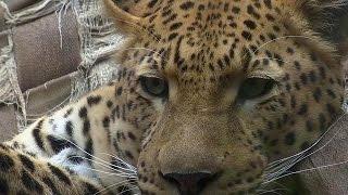 Искусственный мех спасает леопарда