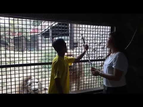 Singa lapar Di Batu malang zoo Jawa timur