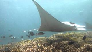Manta ray at Kokoro in Yap Island #1 ヤップ島 検索動画 31