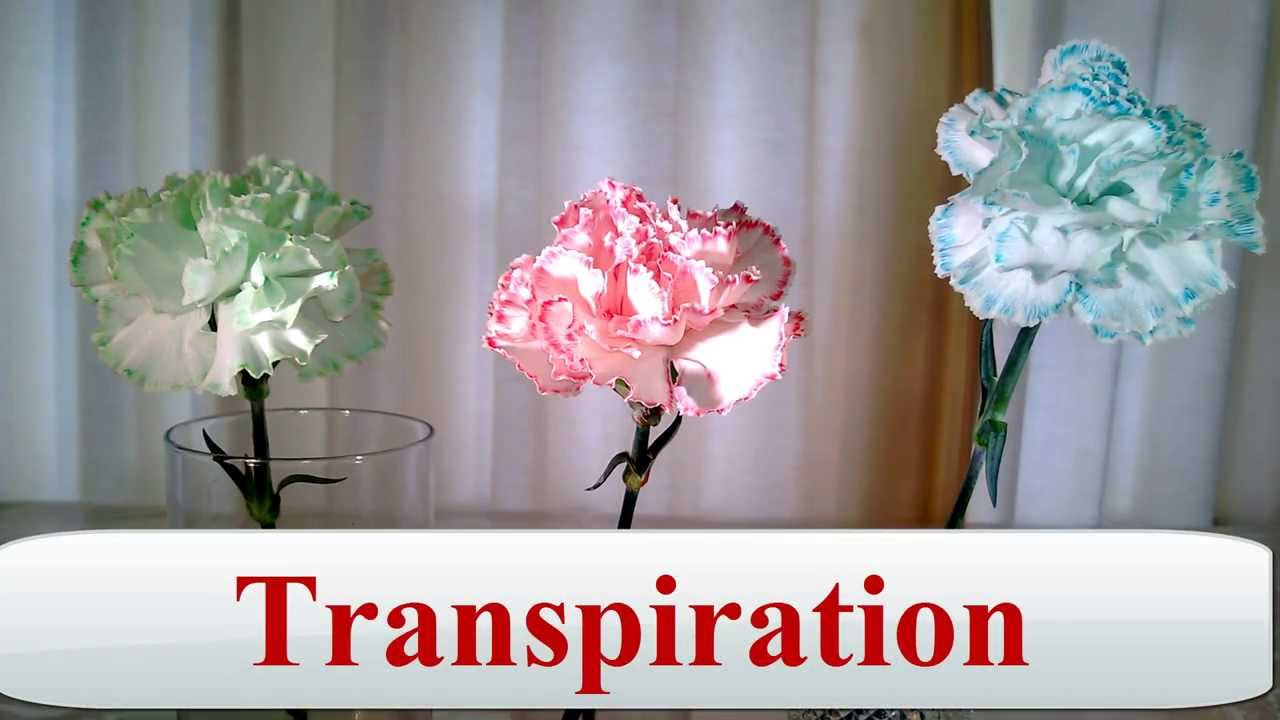 SchoolFreeware Science Video 7  Flowers Of A Different Color  Transpiration Xylem Capillary