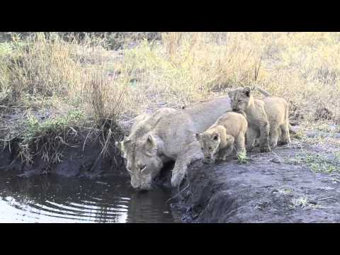 Lioness takes her cubs for a drink