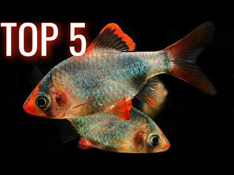 Best Barb Fish For Your Aquarium