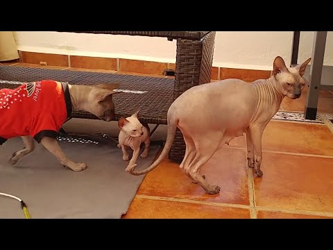 Sphynx cat mommy is already talking and running with her kittens | DonSphynx