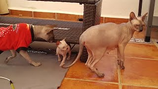 Meow  Sphynx Cat Mommy is Already Talking with Her Kittens