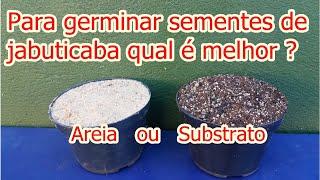Como produzir mudas de jabuticaba no substrato ou na areia