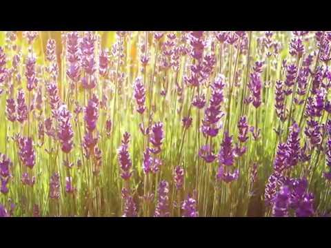 Lavendel, starker Bienenmagnet für sonnige, trockene Standorte