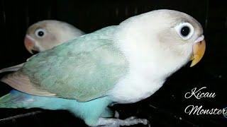 Lovebird Pastel Biru | Uranus Park