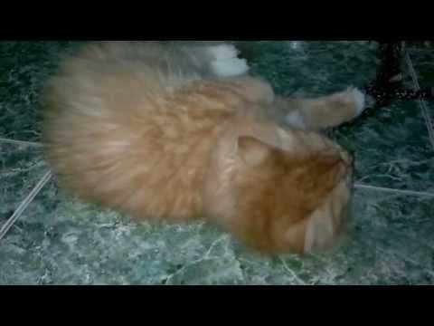 Mèo Giao Phối