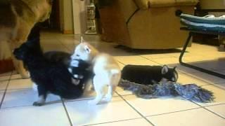 Gerberian Shepsky - German Shepherd Siberian Husky Mix Hybrid Puppy Cubs