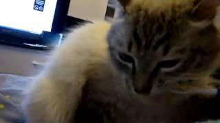 Как почистить зубы коту
