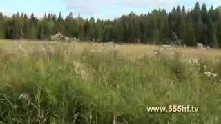 Охота на кабана на овсах.