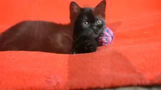 Предлагаем:  Элитные чистокровные клубные шотландские черные котята-котики