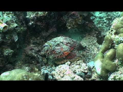Stonefish, Synanceia Verrucosa