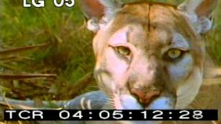 Florida Panther in the wild PT. 1 - Florida Panther - Brown Panther - Best Shot Stock Footage