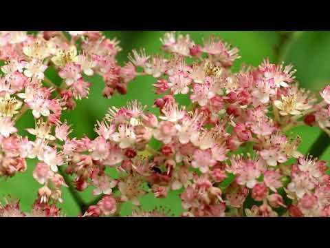 Роджерсия - растение для тенистого сада