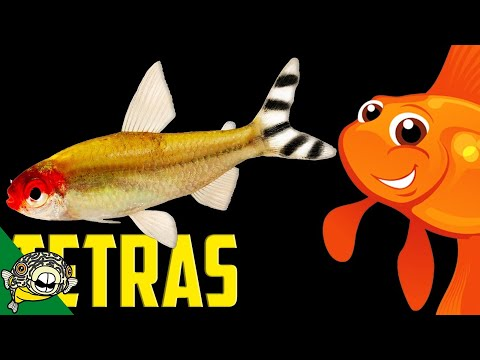 Tetra Schools. Lets talk Tetras the Live Stream.