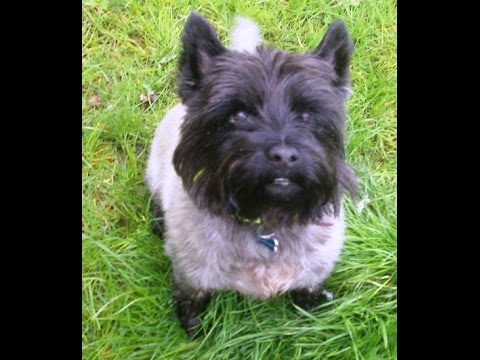 Billy Boy Clarke Cairn Terrier. xxxxxx