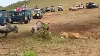 """""""male lions don't hunt"""" and other myths"""