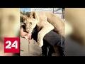 Опасные питомцы: львы нападают на прохожих