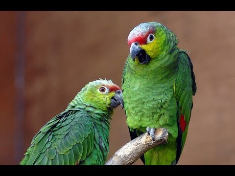 Funny Parrot Dancing  –  A Funny and Cute Parrots Videos Compilation ||  NEW HD