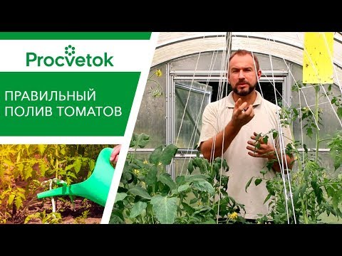 УТРОМ или ВЕЧЕРОМ? Руководство по поливу помидоров.
