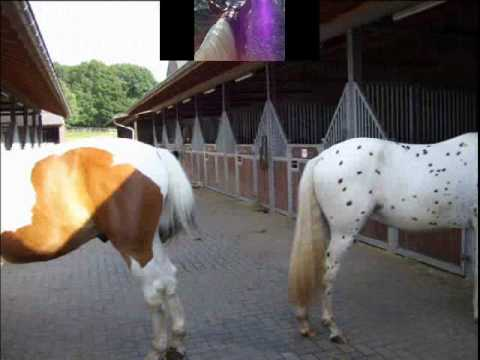 One love-one life       Paint horse and Leopard Appaloosa