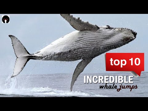 My Top 10 Whale jumps. Incredible whales on camera!