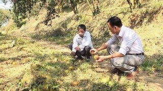 Tin Tức 24h Mới Nhất Hôm Nay : Yên Bái: Gần 100 ha cam chết do bệnh dịch