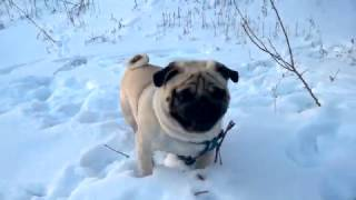 собака мопс вот как нужно проводить последние зимние снежные дни funny dog snow