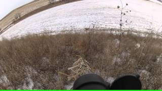 Iowa coyote is too close