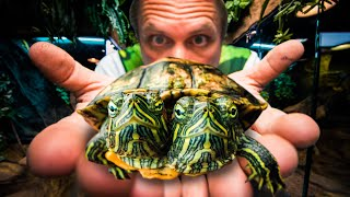 TWO HEAD TURTLE UPDATE!! | BRIAN BARCZYK