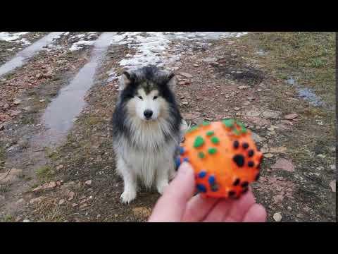 🥇 Perros Husky Siberiano Imagenes, fotos, precio y nombres 2021