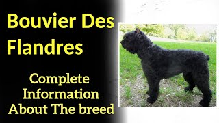 Bouvier Des Flandres. Pros and Cons, Price, How to choose, Facts, Care, History