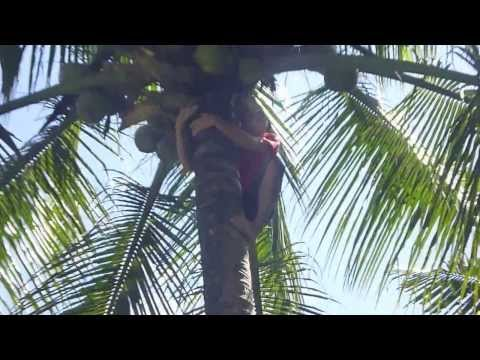 Picking Coconuts in Jungle - Tour Philippines [HD]